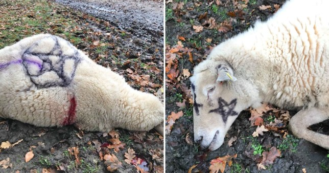 satanic sheep killer back for more