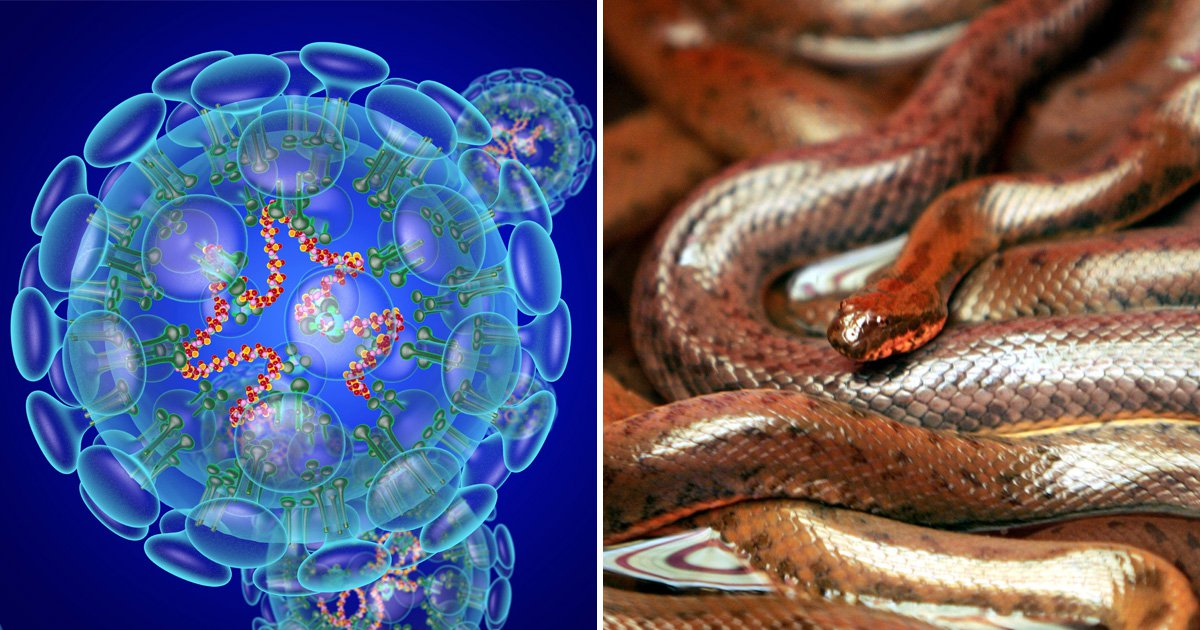 Coronavirus could have jumped to humans from snakes, researchers ...