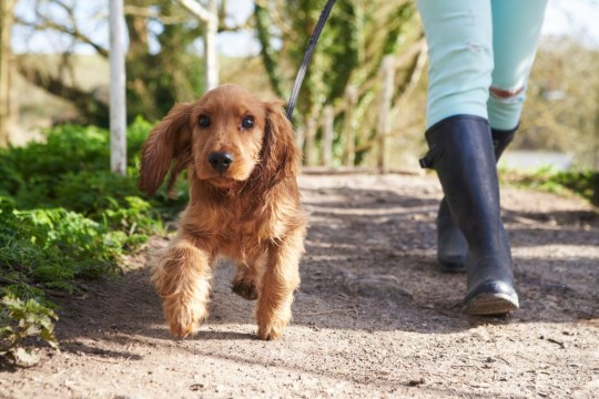 cocker spaniel on a walk
