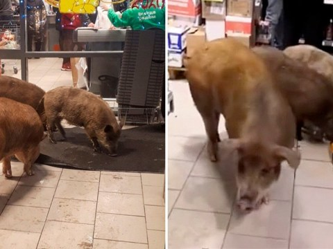 Pigs break into supermarket, smash bottles and help themselves to whiskey