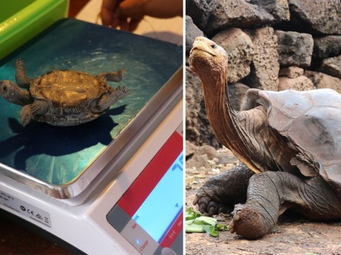 Giant tortoise saves species from extinction after fathering 800 babies