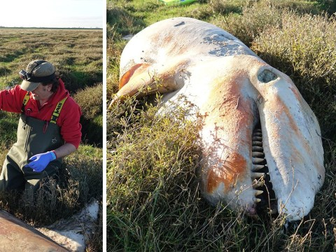 First killer whale stranded in England in almost two decades