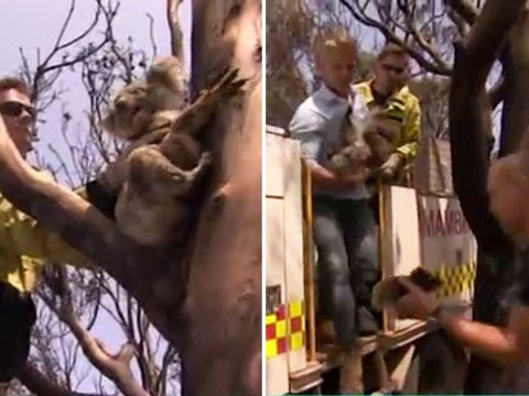 Koala screams for baby in heartbreaking scenes from Australian fires and This Morning viewers are inconsolable