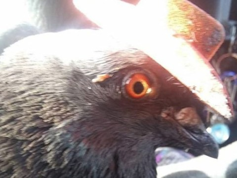 Pigeon dies after having cowboy hat glued to its head