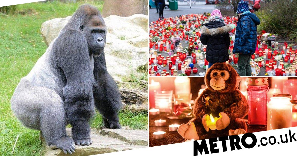 Gorilla shot dead with submachine gun after being burned in zoo fire