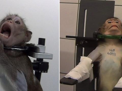 Lab where monkeys were filmed screaming in pain shut down