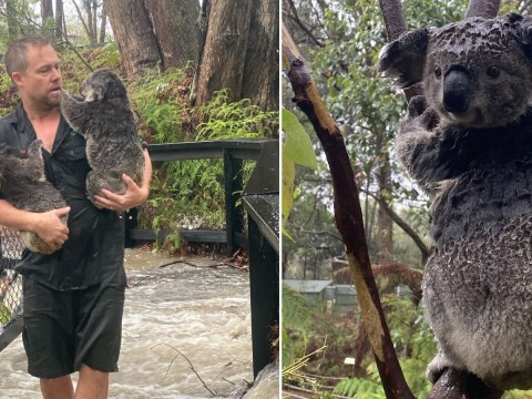 Koalas once in path of raging bushfires are now having to be saved from torrential floods