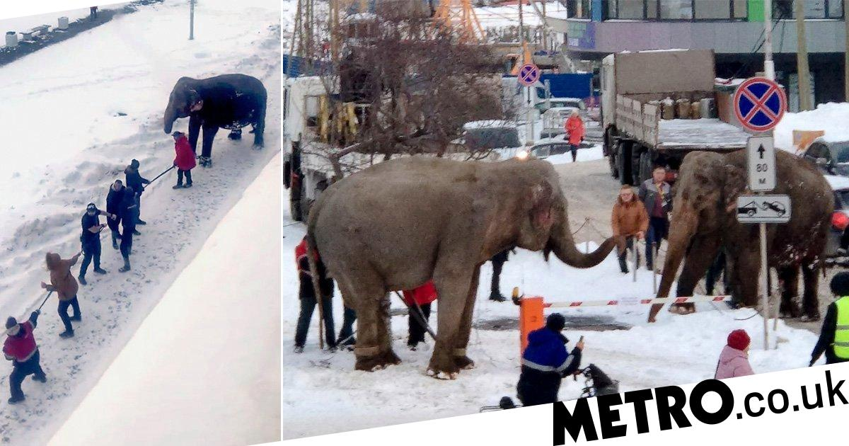 Elephants run away from circus to roll about in snow - metro