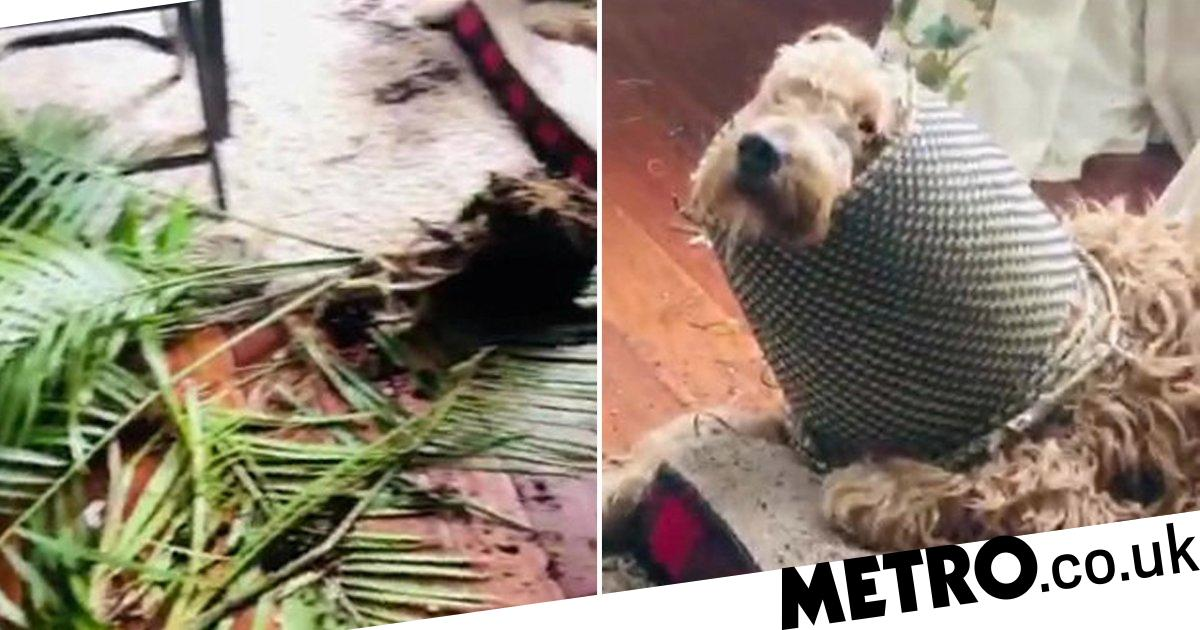 Naughty dog gets his head caught in a pot after trashing the plant