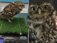 Who ate all the mice? Owl too fat to fly put on a diet