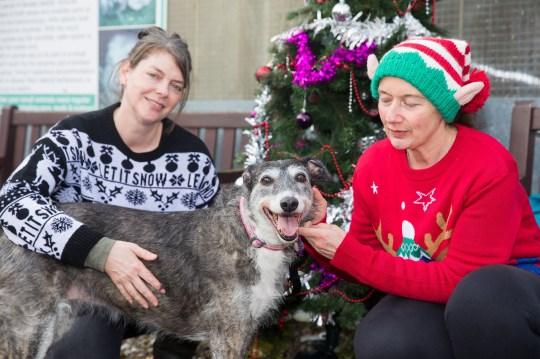 MERCURY PRESS. Merseyside, UK. Pictured: Doris the lurcher with Dawn Hurst (L) and Helen Stanbury (R) from Freshfields Rescue Centre in Liverpool. The UKs unluckiest rescue dog is looking for a fur-ever home this Christmas - after being taken to the same rescue centre FOUR TIMES in the last six years. Thirteen-year-old Lurcher Doris is desperately seeking a new family after her most recent owner, who she had spent four happy years with, recently fell terminally ill and could no longer look after her. But the unlucky pup is no stranger to the staff at Freshfields Rescue Centre in Liverpool, where she was originally abandoned one winter night in 2013, as she has previously been returned there twice when one family couldn't look after her and another owner died.