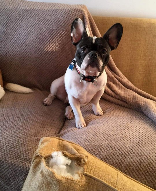 """Moments after Angus had bit through a a bed sheet. See SWNS story SWLEdog; A dog lover saved her pooch's life after he started choking on a piece of sofa - by performing the Heimlich Maneuver. Louise Davies was left petrified when her little French bulldog Angus started making a wretching noise and losing the colour in his face. It was when the poor pup started to lean sideways as if he was losing consciousness that Louise jumped into action. Luckily the 48-year-old church administrator had just done a first aid course for her work and the lifesaving technique was fresh in her mind. Louise, from Congleton, Cheshire, said: """"I knew straight away that Angus must be choking - it was horrifying to see, he could not breathe at all. """"My heart was in my mouth at first but my training kicked in, allowing me to keep calm. """"I looked in Angus' mouth and, when I couldn't see anything, I picked him up from behind and pulled into his belly. """"Nothing happened the first time so I had to do it again, and this time he started breathing again."""""""