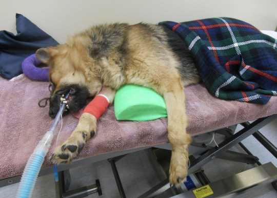 Shane the German Shepherd after being rescued by Paul Viner.
