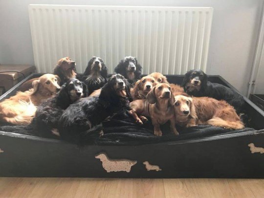 Dachshunds in their home