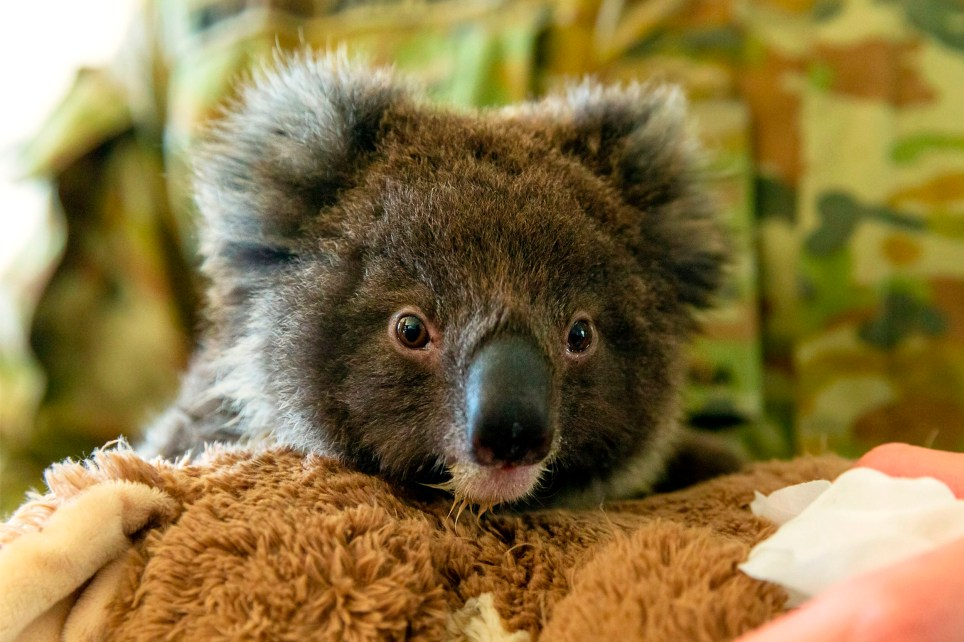 """TOPSHOT - This handout photo taken on January 7, 2020 and received on January 8 from the Australian Department of Defence shows an orphaned baby koala being fed by Private Tyler Moseley-Greatwich from the 10th/27th Battalion, Royal South Australia Regiment, at the Kangaroo Island Wildlife Park in Kingscote. - Firefighters raced to quell massive bushfires in southeastern Australia on January 7, taking advantage of a brief drop in temperatures and some much-needed rainfall before another heatwave strikes later this week. (Photo by Tristan Kennedy / AUSTRALIAN DEPARTMENT OF DEFENCE / AFP) / RESTRICTED TO EDITORIAL USE - MANDATORY CREDIT """"AFP PHOTO / AUSTRALIAN DEPARTMENT OF DEFENCE / TRISTAN KENNEDY"""" - NO MARKETING NO ADVERTISING CAMPAIGNS - DISTRIBUTED AS A SERVICE TO CLIENTS (Photo by TRISTAN KENNEDY/AUSTRALIAN DEPARTMENT OF DEFENCE/AFP via Getty Images)"""