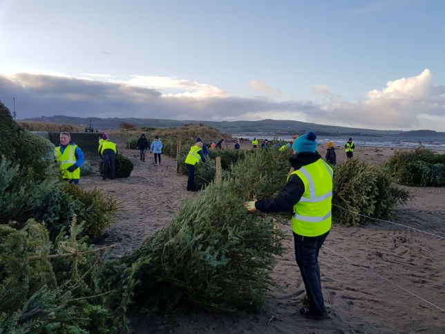 Volunteers take to Ayr beach, Ayrshire, to combat coastal erosion - by planting people?s old Christmas trees. See SWNS story SWSCdunes. Coastal erosion is being kept at bay by CHRISTMAS TREES - with nearly 1,000 being planted on one beach alone.Volunteers put the unwanted fir trees in position amid sand dunes on Ayr beach, Ayrshire, at the weekend but will be collecting more donations until next Wednesday (Jan 22). Sand dunes provide a natural defence against coastal erosion, and protect low-lying areas from coastal flooding. The branches of the Christmas trees trap sand and help dunes to form, providing a diverse habitat for wildlife.