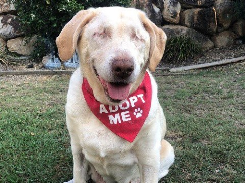 Dumpling the blind, chubby Labrador is looking for a home
