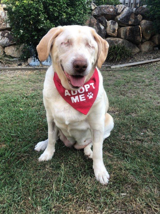 Dumpling - Gold Coast, QLD Microchip No. 978 102 100 060 737 Hello! My name is Dumpling. I didn?t have the best start to life but since joining Labrador Rescue my life has turned around. Unfortunately I was dumped at the pound at 10 years old, blind, overweight and alone. I had some puppies over the years and I guess my old owners didn?t need me anymore. Since being in care I have lost over 13 kg so I would like a new family to help me stay on this weight loss journey (although I really don?t have much more weight to lose). As I am now older I find that small frequent walks are perfect for me. As you can tell I have no eyes; I had to lose them as they were causing me a lot of pain. Now I am pain free and ready to find my new furever home. I live with cats and another dog, I am good with them as long as they don?t get right in my face as it gives me a shock sometimes... all I do is bark at them. I won?t hurt anyone. I would ideally like a home with no stairs. I can be the only pet or I can share the love and have fur siblings. I am okay if I?m left alone whilst you go out but it would be nice to have someone home often to keep me company in my senior years. I?m extremely sweet, charming and good natured. I don?t need much in life just a nice warm home in which to enjoy my last few years. Dumpling is located on the Gold Coast and is available for adoption. She's been desexed, vaccinated, microchipped and heartworm tested. She's up to date with all worming and flea & tick treatments. This gorgeous girl is available to the right family for a rehoming fee of $300. Interested in adopting one of our dogs? Complete an application at www.labrescue.com.au/apply-to-adopt.html Already an approved applicant and waiting on your forever dog? Please email your matching team to express your interest (your matching team email address is on your approval email). Alternatively email us at rescuealabrador@yahoo.com.au to let us know you?re interested.