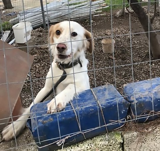 Raymond, an 11-month-old setter/spaniel mix up for adoption from Zante with the help of UK registered non-profit Healing Paws Animal Rescue