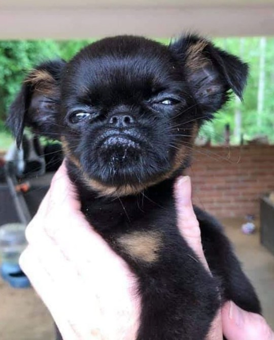 brussels griffon chico