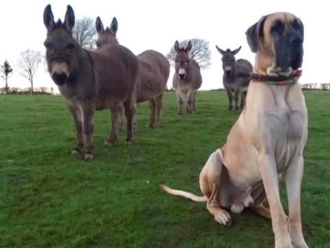 Great Dane too big to be pals with other dogs is best mates with a herd of donkeys