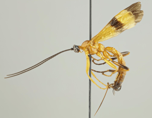Terrifying new wasp can seize control of victims' brains and turn them into zombie slaves