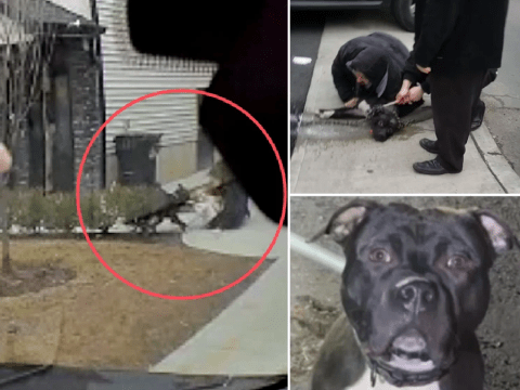 Bloodcurdling screams ring out as baby girl is attacked by pit bull