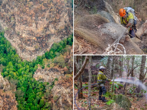 World's only 'dinosaur trees' saved from bushfires in 'military-style operation'