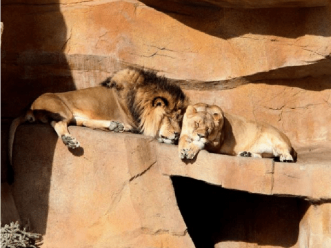 Soulmate lion couple dies less than two days apart at zoo where they lived