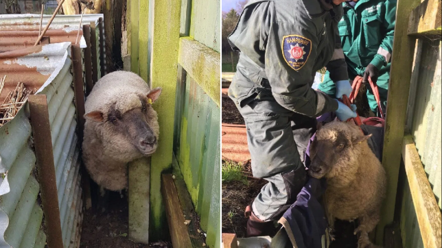 Yum Yum the 'very fat' sheep is rescued by fire crews after getting stuck