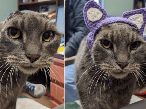 Stray cat whose ears rotted off with infections gets new crocheted ones