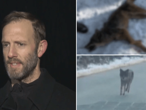 Dad strangles coyote to death after it attacked his 2-year-old son