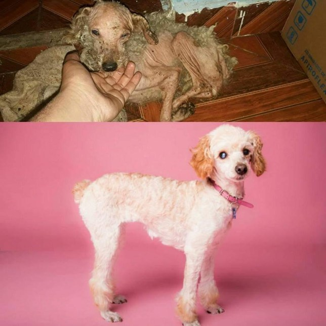 Before and after of dog who was rescued