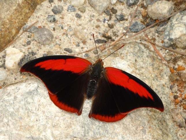 The Polygrapha suprema, a rare and endangered butterfly exclusive to the high mountains of the Atlantic Forest in Brazil that's threatened by habitat loss (Picture: Augusto Rosa)