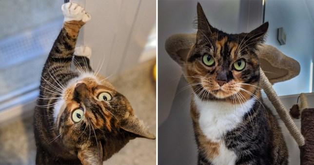 gypsy the polydactyl cat