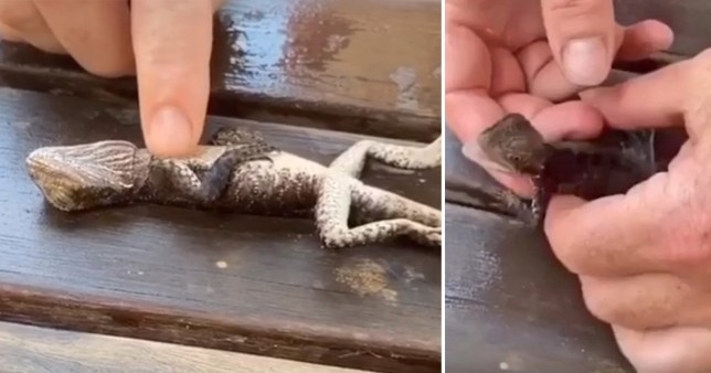 The lizard was found drowning in a swimming pool (Picture: Gordon Fire and Rescue NSW)