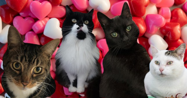 unwanted cats from blue cross looking for homes this valentines day