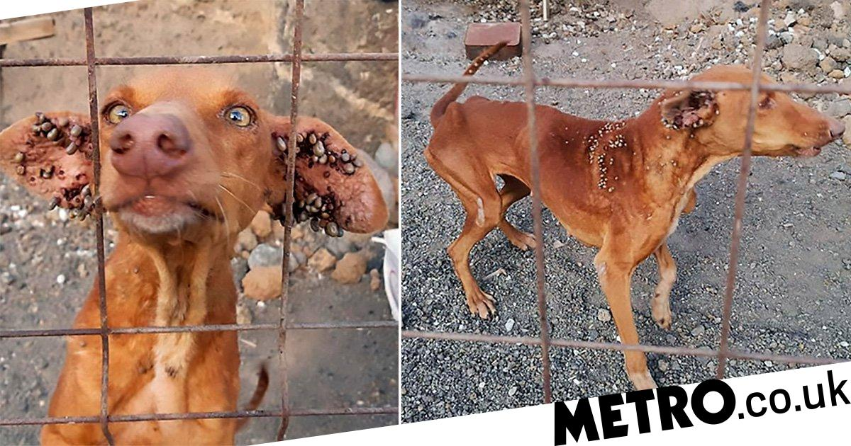 Dogs with ticks coming out of their ears left to starve in Tenerife cave