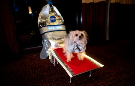 A dog standing on a red carpet coming out from a makeshift Nasa space ship at the New York Pet Fashion Show