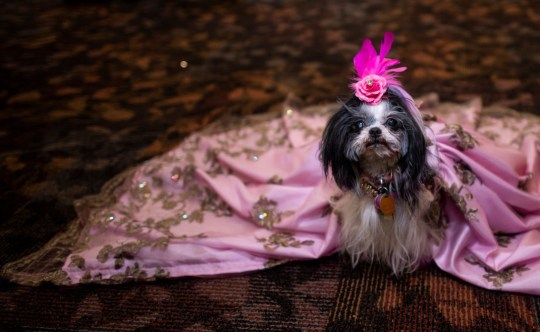 An adorable dog wearing a pink lace dress and a pink flower on her head