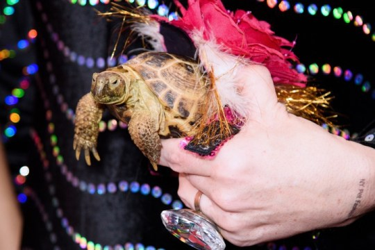 A turtle wearing a flower and feathers at the New York Pet Fashion Show