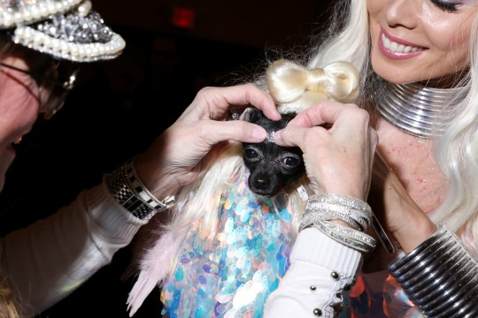 A woman fixes a sparkling decoration on a dog at the 17th annual New York Pet Fashion Show