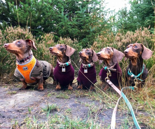 PIC BY sausage squad / CATERS NEWS - (PICTURED: Sausage Dogs Missy, Button, Duke, Ivy, and Apple, Harrogate, North Yorkshire. ) - This super-chic sausage squad are wowing fans all over the world - after their adorable co-ordinated adventures made them Insta-celebs. Harriet Birch, 25, a dog walker, from Harrogate, North Yorkshire, loves spoiling her five pooches Missy, Button, Duke, Ivy, and Apple, and says she is always stunned by her pooches popularity. Harriet got Missy in 2010 after begging her parents for so long and when Missy had two litters, she decided to keep one from each, Button and Duke. Then Duke found a girlfriend, Ivy and they had their own litter, from which Harriet decided to keep Apple to complete her squad. She said: They are definitely pampered pooches - they have so many clothes, accessories, toys and we do so many activities, they go swimming every week and they do agility every week too. - SEE CATERS COPY