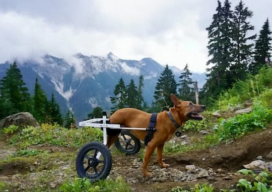 Juniper the dog out in nature with her wheelchair