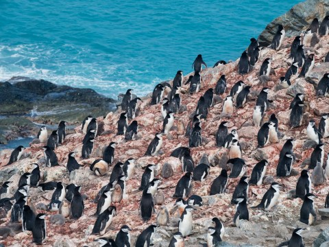 Penguin numbers are falling as climate change takes hold, researchers warn