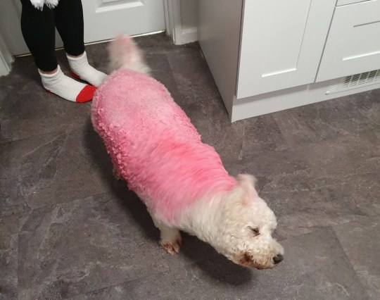 TREANA RICHARDS' PARENTS' BICHON FRISE BENJI, AFTER SEVERAL ATTEMPTS TO WASH OUT RED PAINT FROM HIS FUR FAILED
