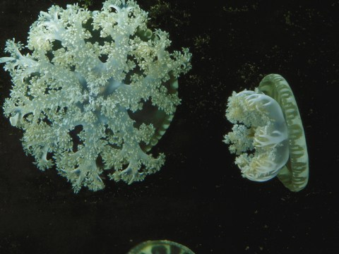 Jellyfish-studying scientists reckon they've solved 'stinging water' mystery