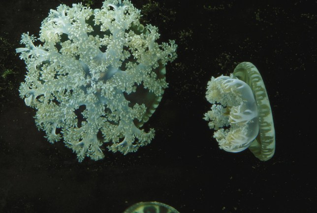 """***EMBARGOED UNTIL 16.00 GMT, THURS FEB 13TH (11.00 ET)*** Cassiopea, or upside-down jellyfish, on display at the National Aquarium. See National News story NNjelly. Jellyfish can sting swimmers with 'mucus grenades,' reveals a new study. Swimmers can often spot large groups of jellyfish pulsing rhythmically on the seafloor in warm coastal waters around the world. But, unless wearing protective gear, it is best to steer clear of areas that Cassiopea - or upside-down jellyfish - inhabit as getting too close can lead to irritating stings, even without direct contact. Now researchers have taken a closer look at the cause of """"stinging water"""" encountered near the placid-looking creatures - and found a toxin-filled mucus the jellyfish release into the water."""
