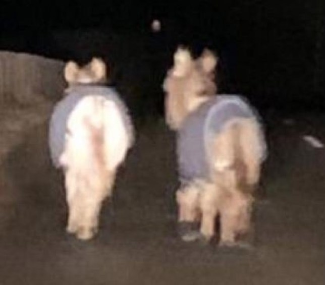 "Photo taken with permission from the Twitter feed of @NorthEPolice of two donkeys who were rescued by police in the early hours of Friday morning after they strayed onto a country road on a ""romantic stroll"". PA Photo. Issue date: Friday February 14, 2020. A passing motorist called officers after spotting the animals wandering side by side in the darkness on the B9024 near Turriff, Aberdeenshire, at around 2am on February 14. See PA story ANIMALS Donkeys. Photo credit should read: North East Police/PA Wire NOTE TO EDITORS: This handout photo may only be used in for editorial reporting purposes for the contemporaneous illustration of events, things or the people in the image or facts mentioned in the caption. Reuse of the picture may require further permission from the copyright holder."