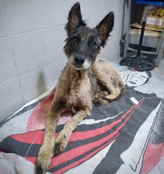 Dog rescued from Tar Pit Taken from Twitter of Proyecto4Patas https://twitter.com/Proyecto4Patas No permission Picture: Proyecto4Patas